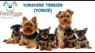 Yorkshire Terrier Petniigga