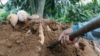 新化大坑麻竹筍採收(1)