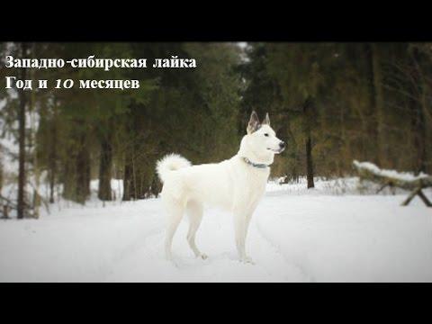 Западно-сибирская лайка Дина. Дресировка