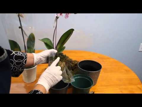 Как спасти вашу орхидею от  гибели