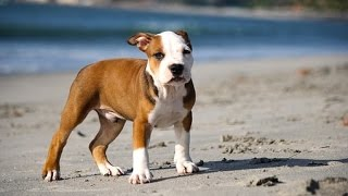 *** How To Stop My Pitbull From Barking? Now?!