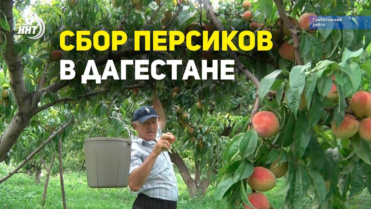 Сбор персиков в Дагестане