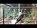 Manuk Siri Siri Gacor Bikin Nyetrum Burung Anda Langsung Nyaut Kicau Makin Tajam  Mp3 - Mp4 Download