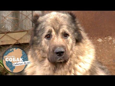Планета собак. Кавказская овчарка
