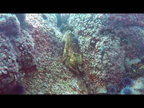 octopuses-mating-in-monterey-bay