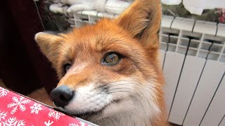 Как мы кормим лису