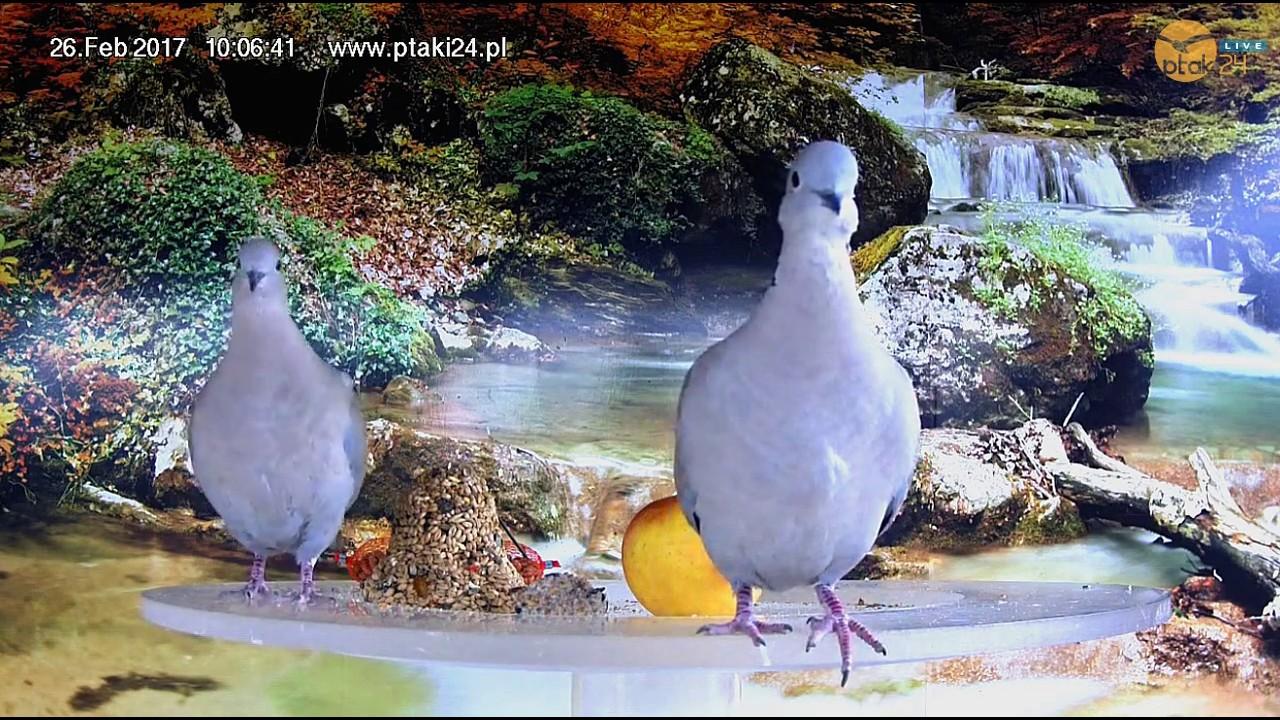 Dwie sierpówki w karmniku dla ptaków pt. inspiracje