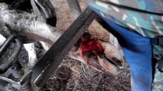 Лечение копыт крупного рогатого скота