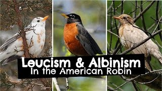 Leucism and Albinism in American Robins