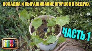 видео Как вырастить огурцы в бочке и какой будет урожай