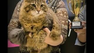 Сибирский котик Таран на WCF - ринге