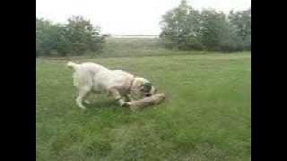 Central Asian Shepherd dog, Közép-ázsiai juhász szuka őrző-védő teszt