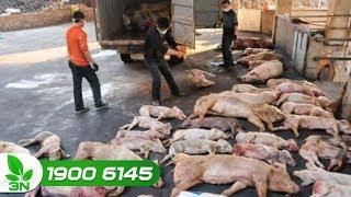 Dịch tả lợn châu Phi: Toàn ngành chăn nuôi sẵn sàng ứng phó    VTC16