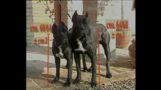 Про породу собак - Кане-корсо