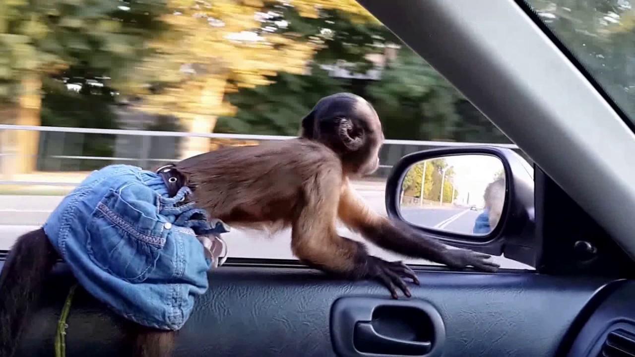 картинка обезьяны в машине его формирования является