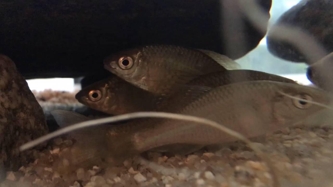Freshwater fish korea - Have Korean Freshwater Fish 1