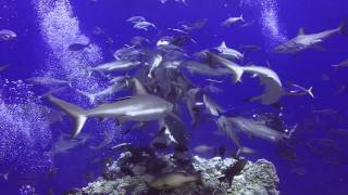 North Horn, Osprey Reef  diving with sharks,  Mike Ball, Australia ,GBR