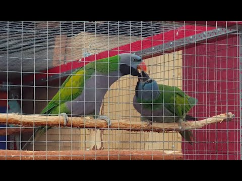 Видео: Китайский кольчатый попугай кормит подружку
