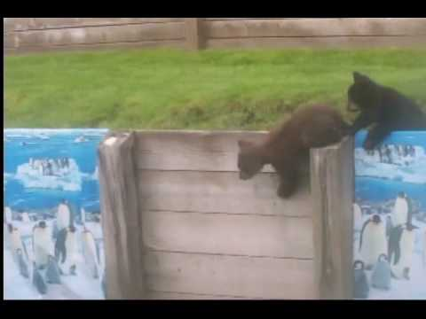 Baby Bear Cubs Playing in my backyard