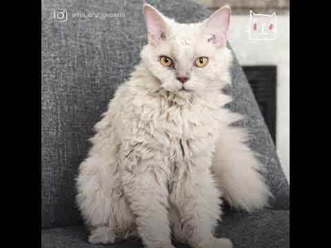 Кучерявые котики - коты-барашки