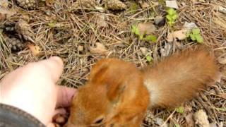 Белка грызет кедровые орехи с руки.