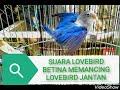 Suara Pancingan Lovebird Betina Agar Lovebird Jantan Birahi Kawin  Mp3 - Mp4 Download