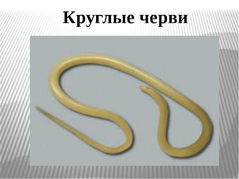 Нематоды (круглые черви) в человеке. Аскариды (аскаридоз), анкилостома лечение. Энтеробиоз у детей