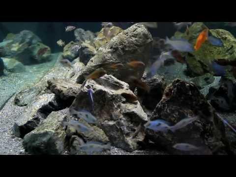 Mixed Cichlid aquarium