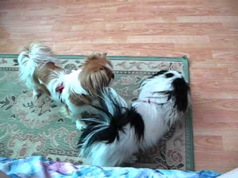 Japanese Chin dogs: When girl courting for boy II.