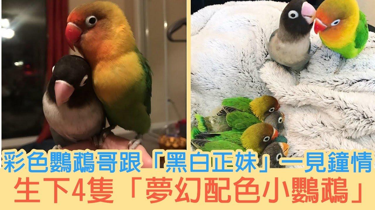 單身很久了…彩色鸚鵡哥跟「黑白正妹」一見鐘情 生下4隻「夢幻配色小鸚鵡」太可愛 |貓咪搞笑 - YouTube