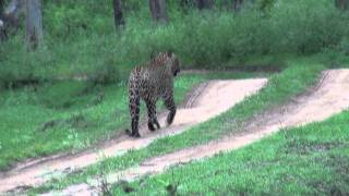 An encounter with the Daring leopard in Bandipur!