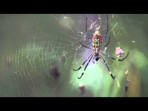 Giant Himalayan Spider eats a mountain fly