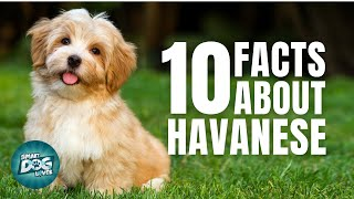10 Facts About Havanese | Dogs 101  Havanese