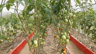 Обзор томатной теплицы. Сорта наших помидоров.