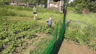 Клубника поспевает! Огород. Жизнь в деревне.