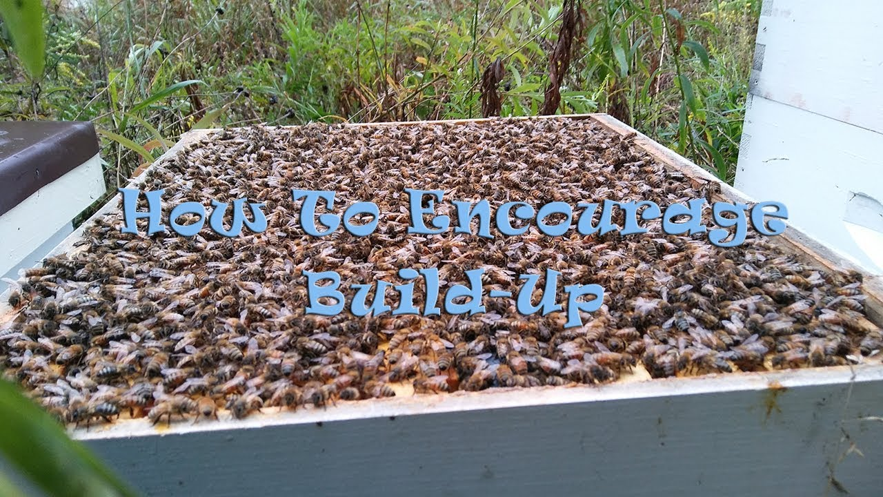 How To Encourage Build Up In Your Hive