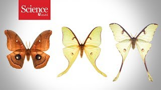 Watch how battles with bats give moths such flashy tails
