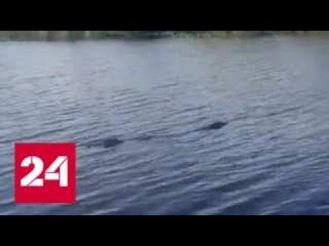 """""""Прошли хорошие времена"""": рыбаки обнаружили крупного крокодила в реке в Приморье - Россия 24"""