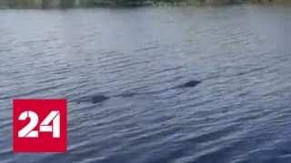 """Смотреть видео """"Прошли хорошие времена"""": рыбаки обнаружили крупного крокодила в реке в Приморье - Россия 24 онлайн"""