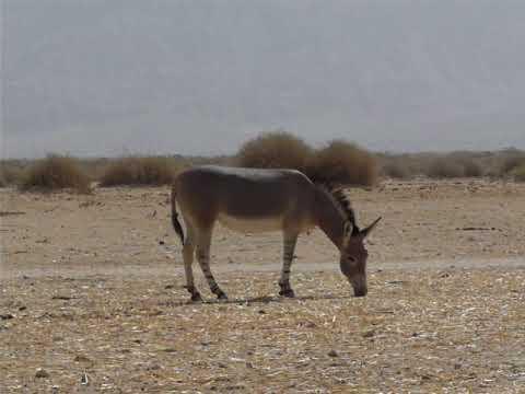 A pair of Somali wild ass