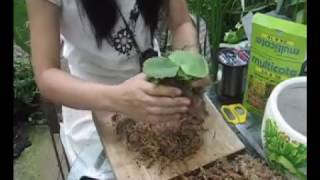 How to mount Platycerium sporeling with wood.