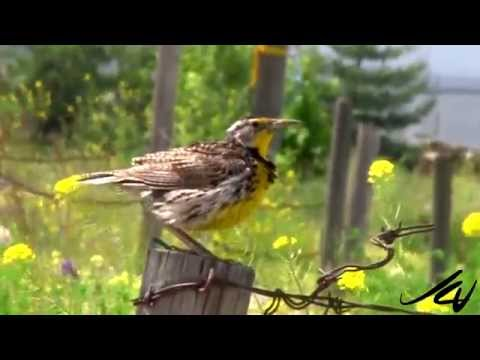 Western Meadowlark Song and Calls HD 2015  - (Sturnella neglecta) -  YouTube