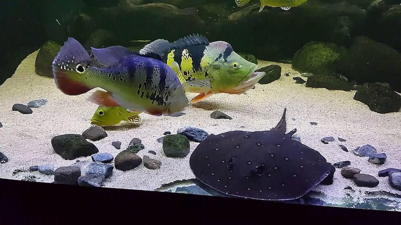 Kelberi peacock bass - photo#53