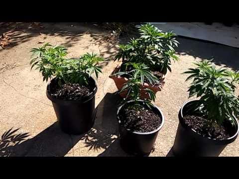 How To Grow Marijuana 2017 Part 2