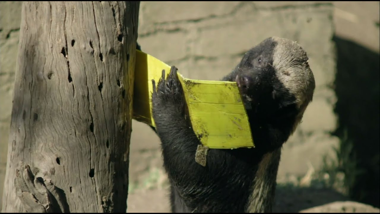 Honey Badger vs Bee Hive  Nature on PBS  YouTube