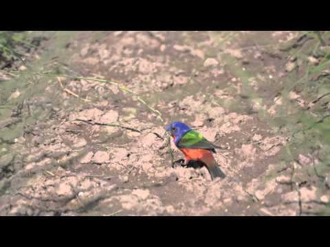Painted Buntings love Texas Cupgrass by Native American Seed