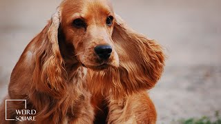 English Cocker Spaniels are a sporting dog | Amazing Animals