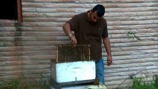 Honey Bee Hive removal- Exposed Hive indoors by Luis Slayton of Bee Strong Honey and Bee Removal #13