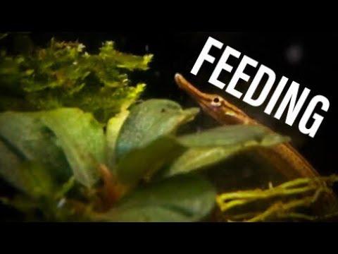 Freshwater Pipefish Feeding (How To Feed)