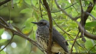 ヒヨドリ Brown-eared Bulbul [ 4K UHD / 鳥 Bird ]